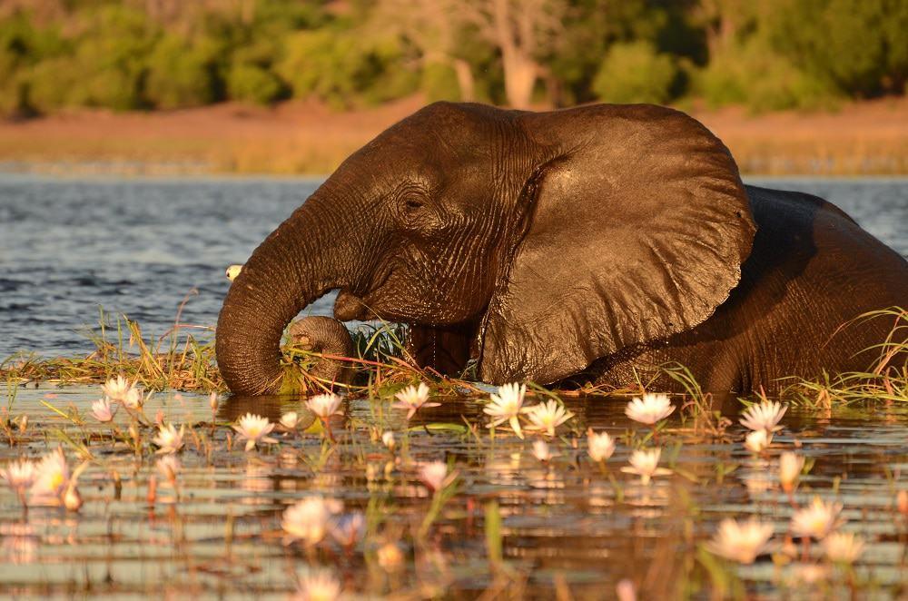 Elephant in Chobe River